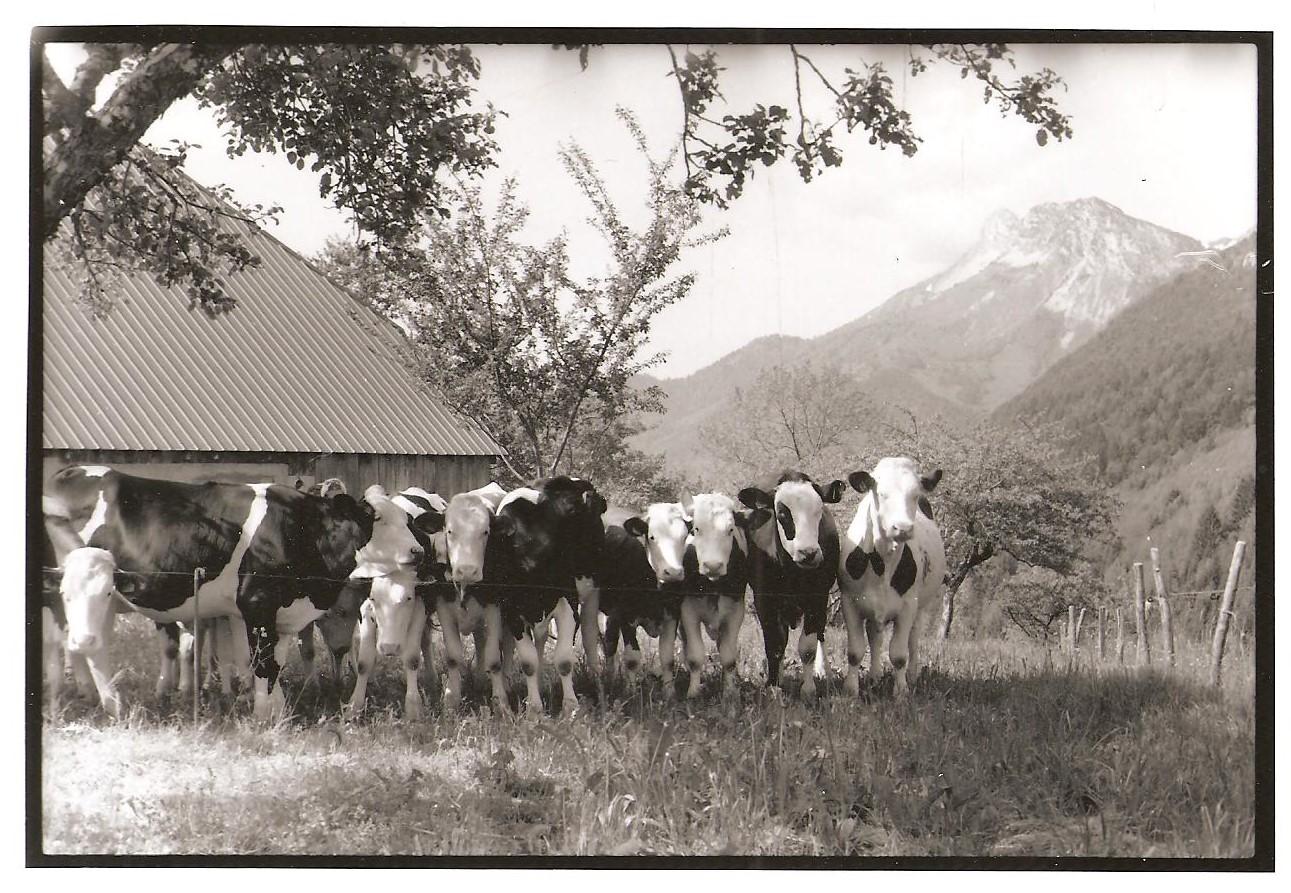 Vaches de doucy dessus